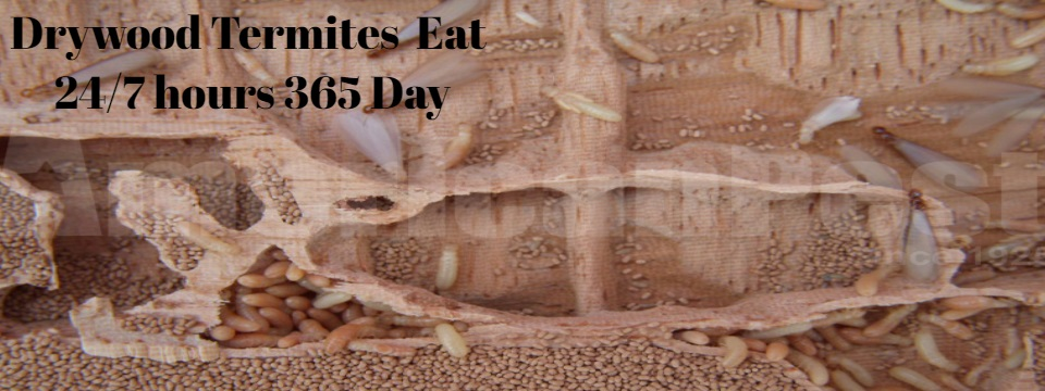 Fumigate-Drywood-Termites